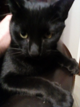 Beautiful pitchblack housecat looking for a new forever home