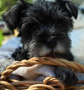 (9 weeks) old Miniature Schnauzer Puppies