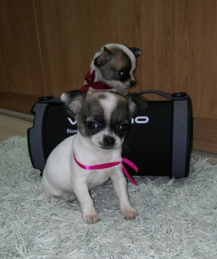 Miniature Chihuahua Puppies