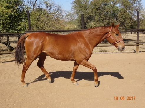 Stunning Chestnut Thoroughbred Gelding