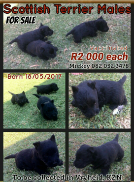 Scottish Terrier Male Puppies R2000.00