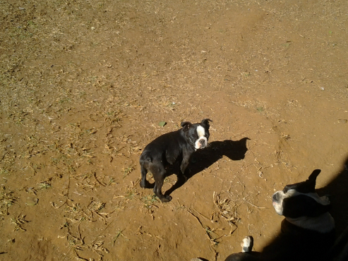 Boston terrier hondjies te koop.