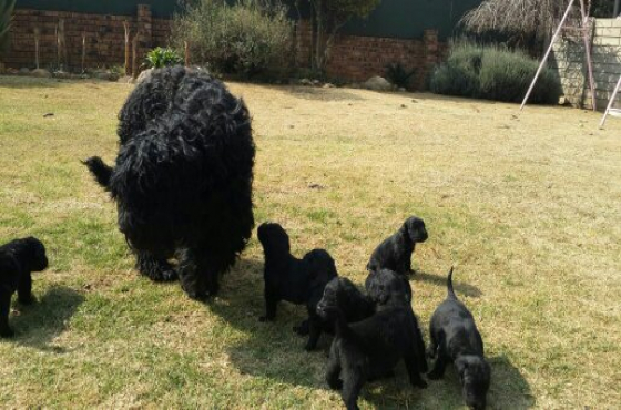 Black Russian Terrier Puppy's