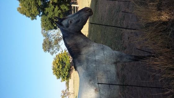 Appaloosa X Quarter Horse mare