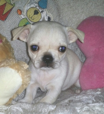 Registered Female Chihuahua Puppy