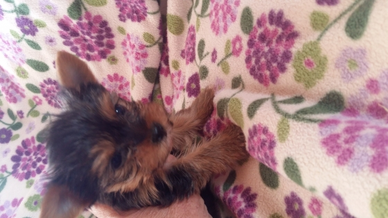 Beautiful pocket size yorkie girl
