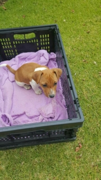 Pedigree Jack Russell Puppies