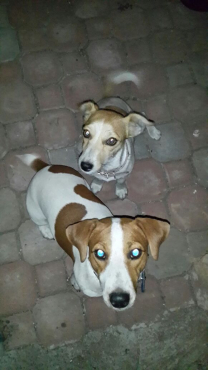 Pure Breed Jack Russel Puppies
