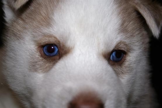 Husky Pup Male 13 Weeks old R2800