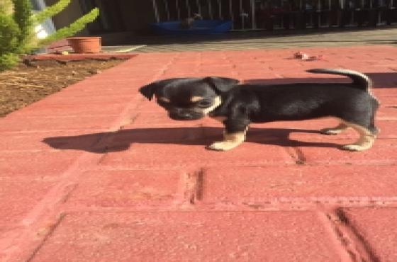 Chihuahuas Registered