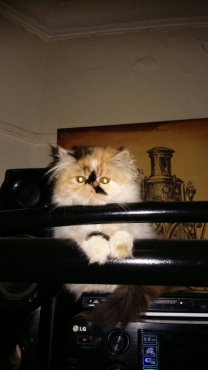 Persian calico persian female