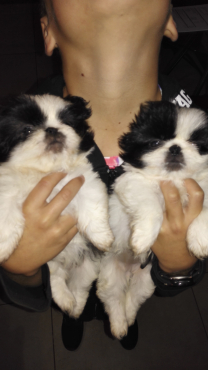 Beautiful Pekingese Pups