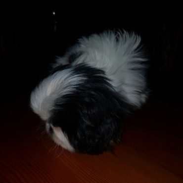 2 Male purebred pekingese puppies for sale