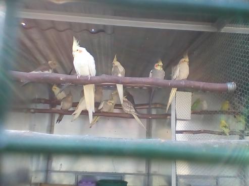 Cockatiles