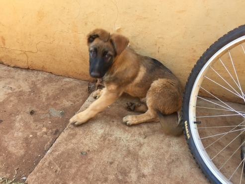 Alsatian puppies for sale