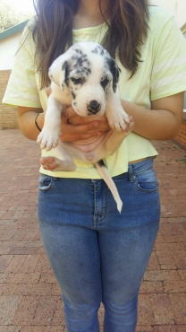 Harlequine Great Dane Puppies