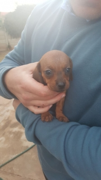Daschund/Sausage dog puppies