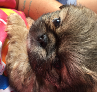 Purebred Pekinese puppy