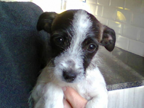 Jack Russell wire hair puppy