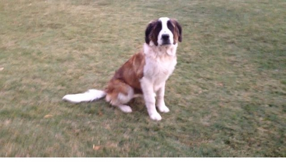 9 month Saint bernard female