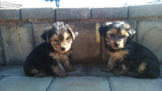 Yokie male for sale
