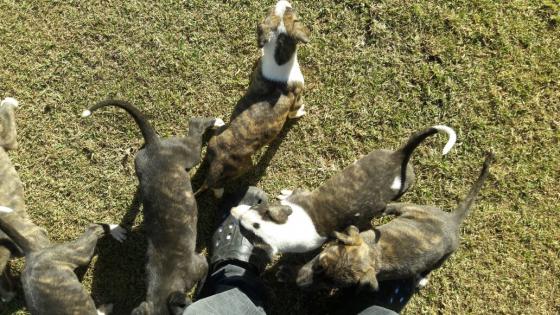 Greyhound Puppies for sale