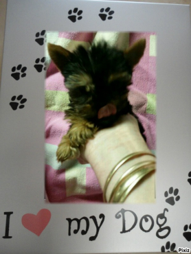 Teacup yorkshire terrier male