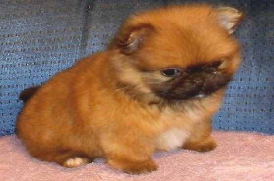 Cute and fluffy pekingese puppy