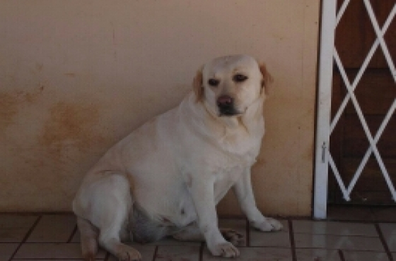 KUSA REG LABRADOR yellow pups