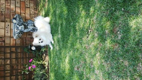 Toypom (Pomeranian) puppies for sale