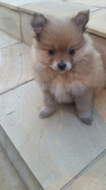 Toypom (Pomeranian) puppies for sale