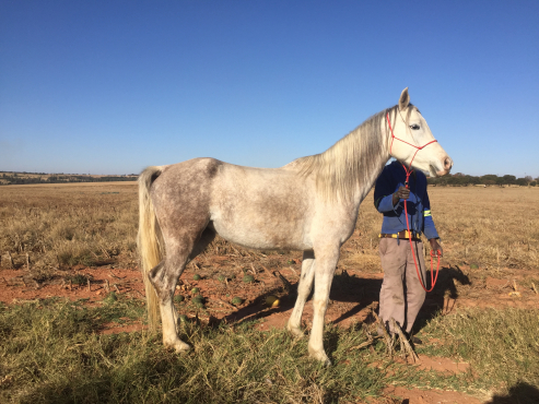 Young Arab Mare for Young Rider - Horse for Sale