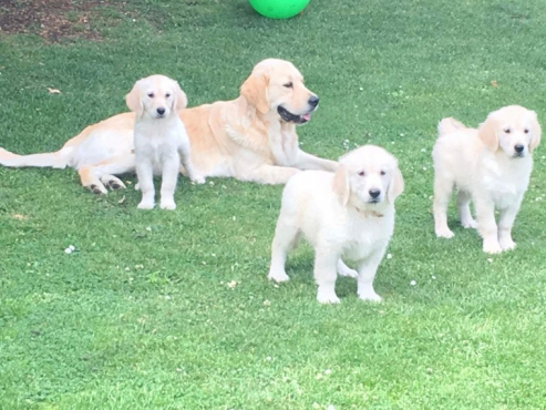 Adorable and friendly Golden Retriever puppies for sale