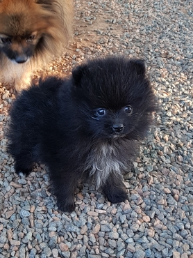 Purebred Toy Pom puppies