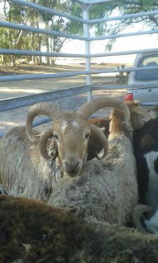 Four Horned sheep for sale in Western Cape