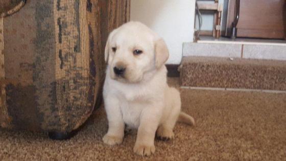 Labrador hondjies te koop