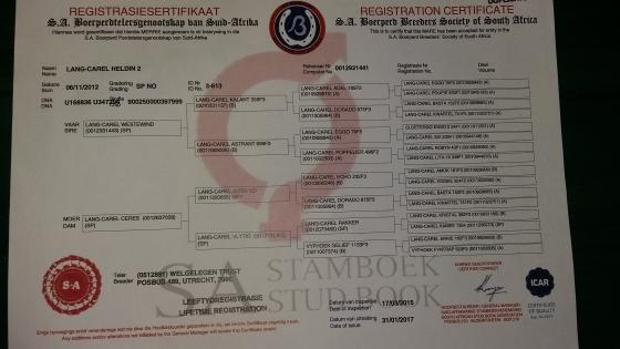 Registered Boerperd Mare for Sale