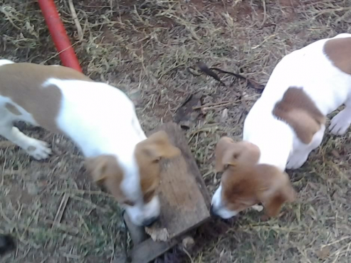 Jack Russell regist short leg puppies