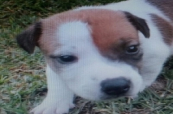 Jack Russels Puppies Registered@ R1800 beautiful,shortlegged,short