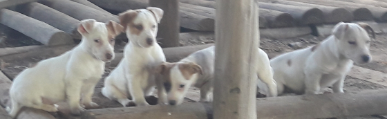Jack Russel puppies Vaccinated Dewormed and Vet-checked