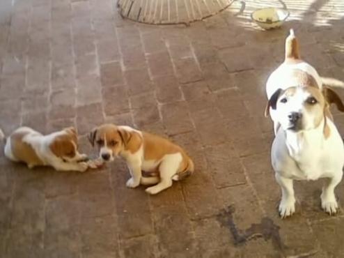 Jack Russell regist short leg puppies