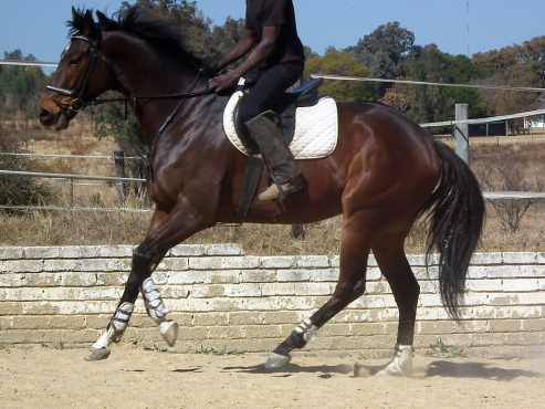 Absolutly stunning big tb gelding