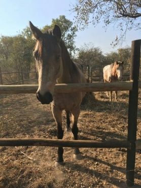 Beautiful buckskin Boerperd X gelding