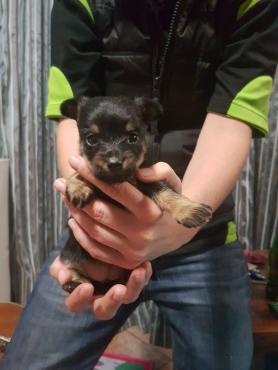 Snautzer puppy. Female.