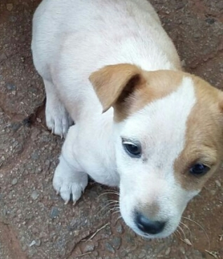 Jack Russell Puppies - Short leg