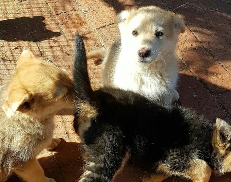 Alsation puppies for sale