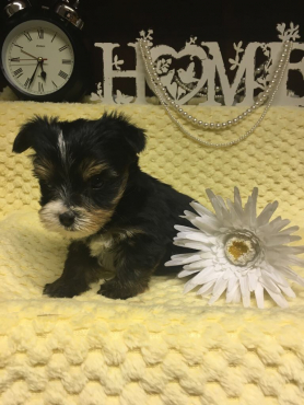 Tri colour Yorkie puppy for sale