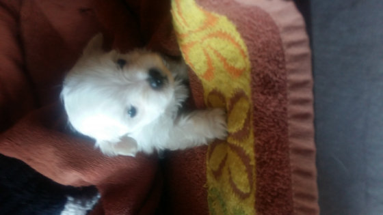 Maltese poodle puppy's R1000