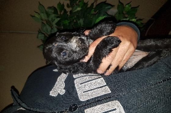 CavalierXSpringer spaniel puppies