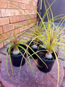 Ponytail palm plants